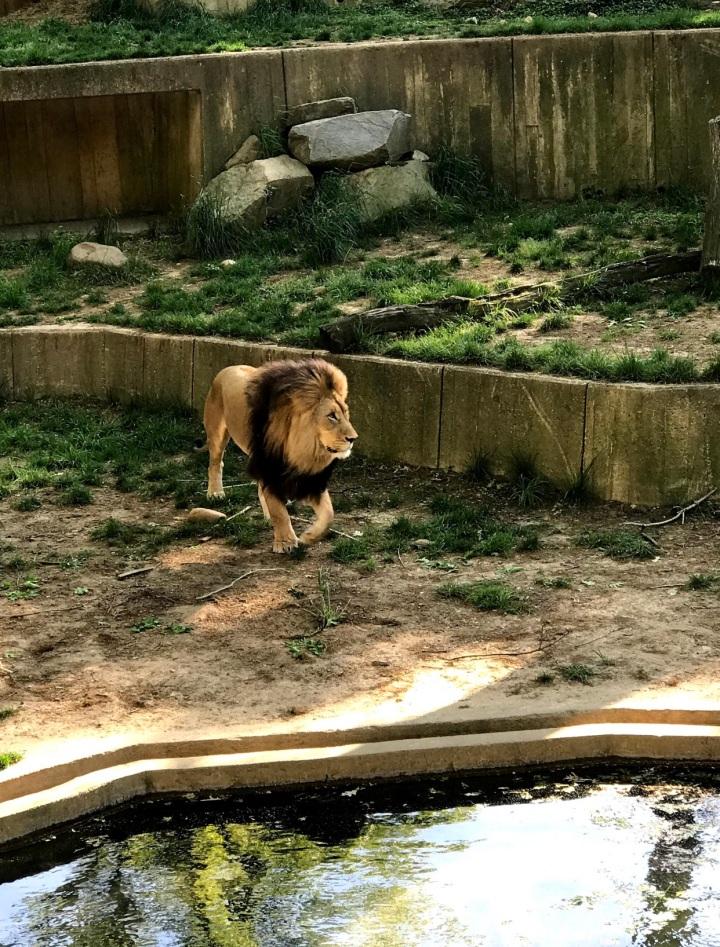 LionSmithsonianZoo